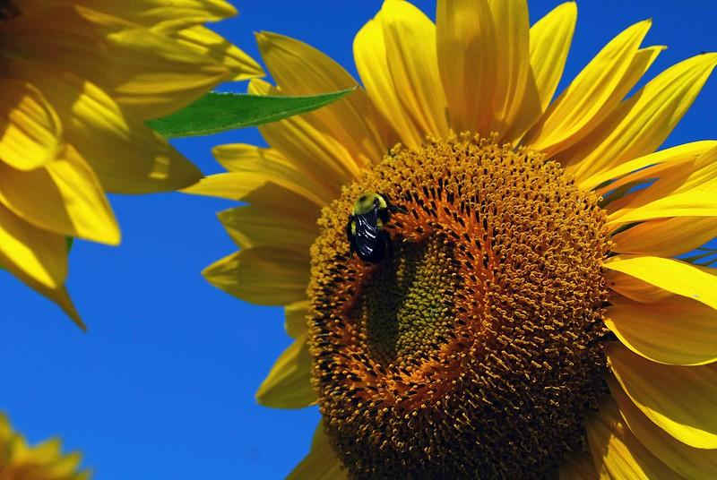 Sunflowers-1165-B