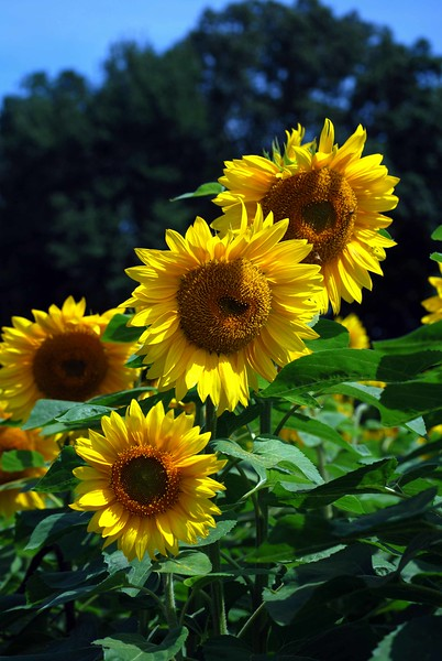 Buttonwood-Sunflowers-7-25-09_09 07 25_1174-B
