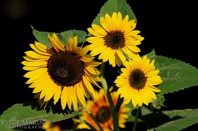 Sunflowers -- DSC_8057