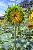 P1040443 Sunflower Bud 2wn vt