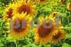 P1040468 Sunflowers wsde