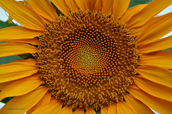 Sunflower<br /> © Pamela Stover<br /> Exposed Images Photography