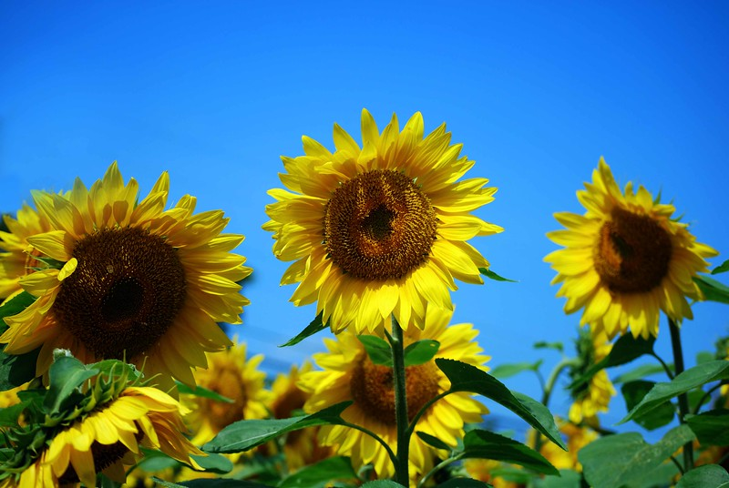 Buttonwood-Sunflowers-7-25-09_09 07 25_1127_B