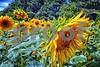 P1040425 CU Sunflower wndlc