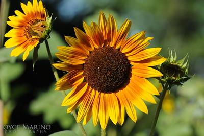 Sunflowers -- DSC_8112