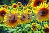 P1040491 Sunflowers wsde