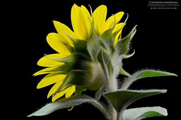 Sunflower Backside