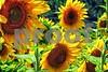 P1040469 Sunflowers wsde