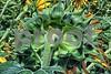 P1040452 Sunflower w Grasshopper 1 ftb