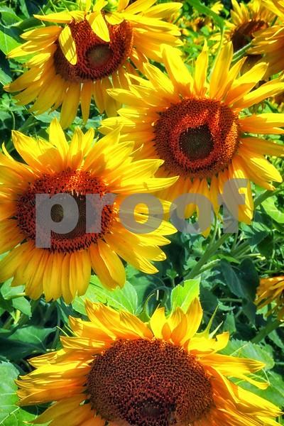P1040463 Sunflowers VT wsde