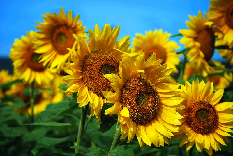 Sunflowers--0914-C