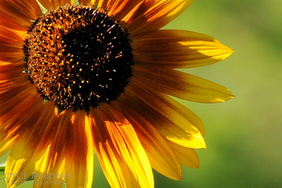 Sunflower -- DSC_7997