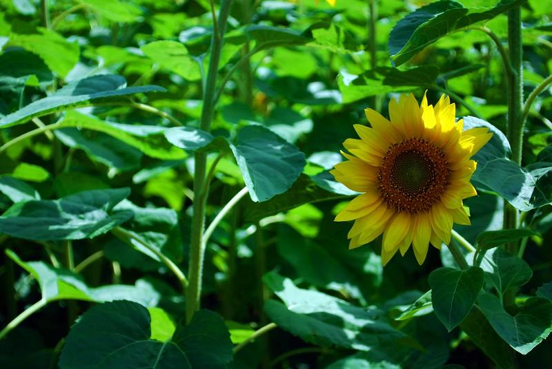 Buttonwood-Sunflowers-7-25-09_09 07 25_1144-B
