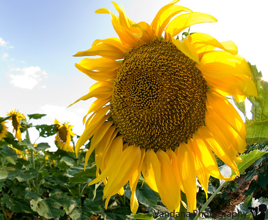 Sunflowers !