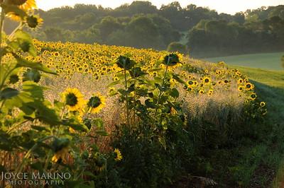 Sunflower fields in early morning sun, DSC_7817