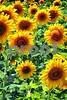 P1040477 Sunflowers wsde