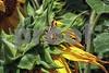P1040456 Sunflower w Grasshopper 2 ftb