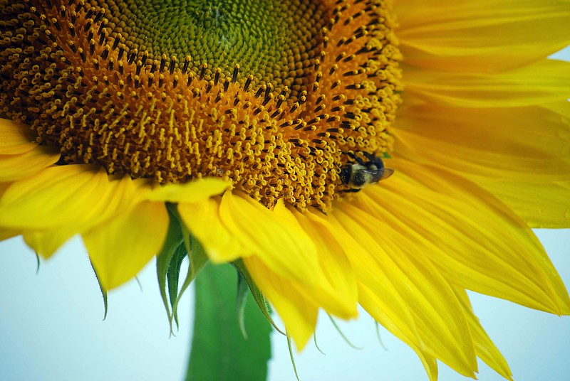 Buttonwood-Sunflowers-7-25-09_09 07 25_0883-B