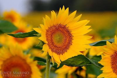 Sunflower field, DSC_5334