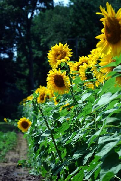 Buttonwood-Sunflowers-7-25-09_09 07 25_1029-B