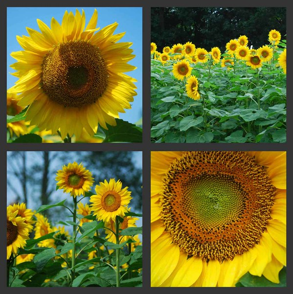 Sunflowers-Collage#1-09_edited-1