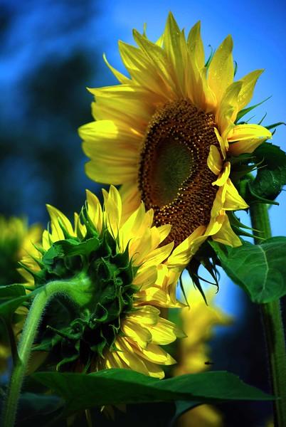 Buttonwood-Sunflowers-7-25-09_09 07 25_0870-C