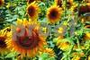 P1040485 Sunflowers wsde