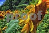 P1040428 CU w sunflowers SLD