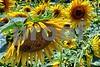 P1040490 Sunflowers prodeX