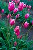 Wooden Shoe Tulip Farms, Woodburn, Oregon, at Daybreak