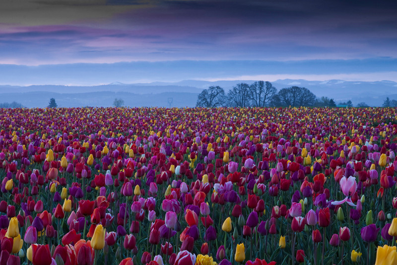 Wooden Shoe Tulip Farms, Woodburn, Oregon, at Daybreak