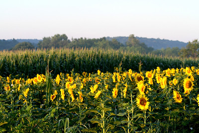 Sussex Sunflowers