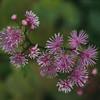 Thalictrum actaeifolia
