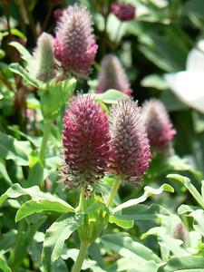 Trifolium rubens