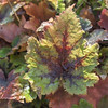 Tiarella 'Pirate's Patch'