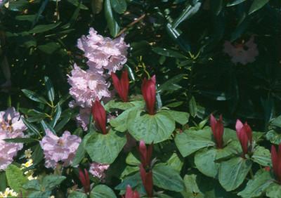 Trillium kurabayashi