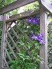 Clematis on the trellis
