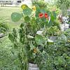 nasturtiums blooming