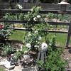 A white rose, alba perhaps?