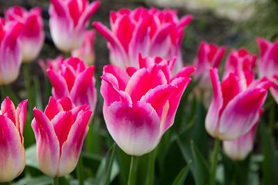 Tulip 21