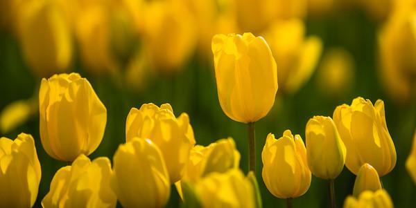 Tulip 18