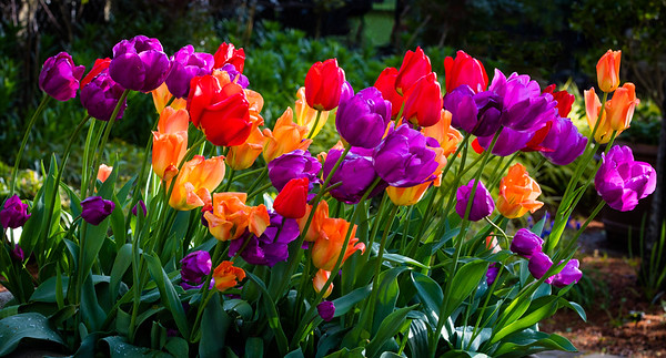 Tulip 16