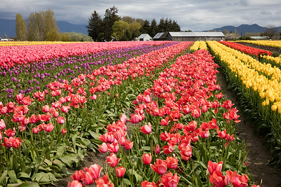 Tulip 29