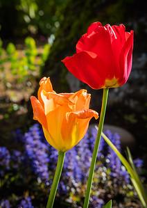 Tulip 10