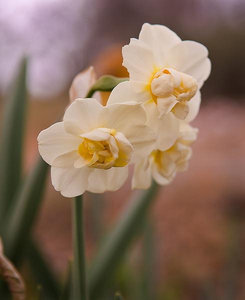 Slightly chewed daffodils