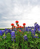 Indian Paintbrushes add a splash of color to the fields of Bluebonnets.