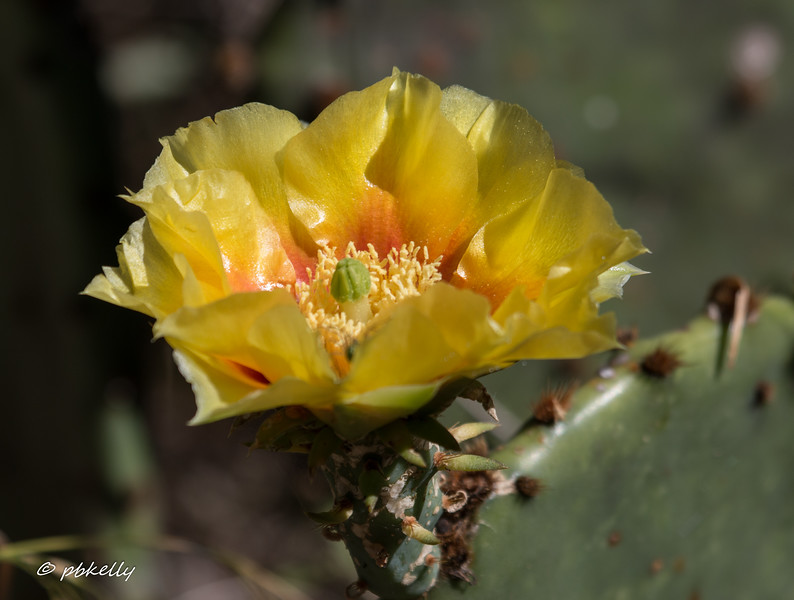 Cactus flower.  Lots of these.  Something we don't see in NE Ohio.