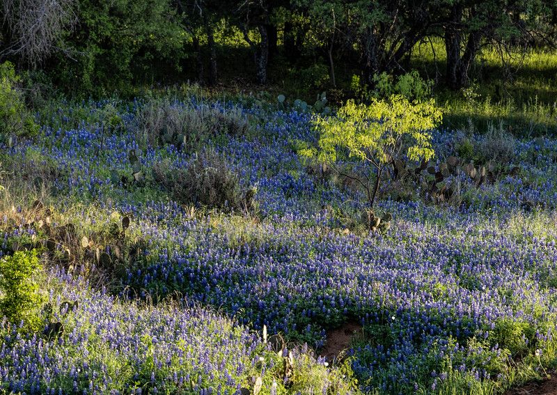 Bluebonnet valley