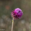 Closeup of the Musk Thistle flower.