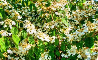 white-flowers-green-leaves
